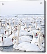 Massive Amount Of Swans In Winter Acrylic Print by Mait Juriado photo