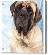 Mastiff 369 Acrylic Print