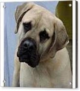 Mastiff 402 Acrylic Print