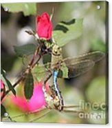 Mating Dragonfly Acrylic Print