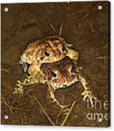 Mating Toads Acrylic Print