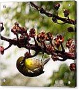 Maui Bird Acrylic Print