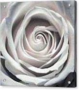 May Rose Acrylic Print