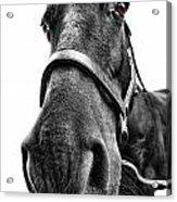 Me So Horsey Acrylic Print