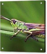 Meadow Grasshopper Acrylic Print