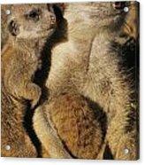 Meerkat Pups With Their Caretaker Acrylic Print