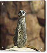 Meerkat Suricata Suricatta Sunning Acrylic Print by Konrad Wothe
