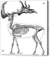 Megaloceros, Cenozoic Mammal Acrylic Print