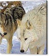 Members Of Wolf Pack Acrylic Print