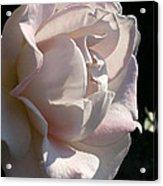 Memorial Rose Acrylic Print