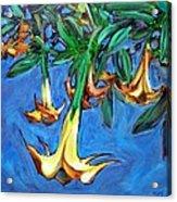 Mendocino Angel Trumpet Acrylic Print by Sheila Tajima