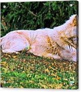 Menominie Park Grey Wolf Acrylic Print