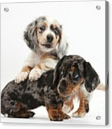 Merle Dachshund Pups Acrylic Print