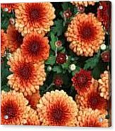 Merry Marigolds Acrylic Print