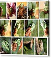 Metamorphosis Of A Cicada Acrylic Print by Emanuel Tanjala
