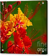 Mexican Bird Of Paradise Acrylic Print
