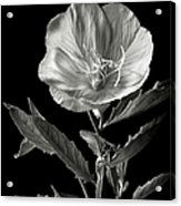 Mexican Evening Primrose In Black And White Acrylic Print