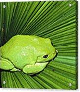 Mexican Giant Tree Frog Pachymedusa Acrylic Print