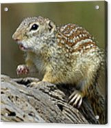 Mexican Ground Squirrel Acrylic Print