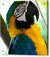 Mexican Parrot Acrylic Print