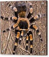 Mexican Red-legged Tarantula Acrylic Print