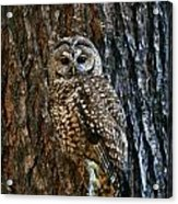 Mexican Spotted Owl Camouflaged Against Acrylic Print