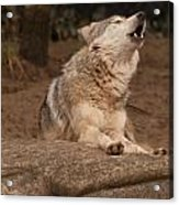 Mexican Wolf Howling Acrylic Print