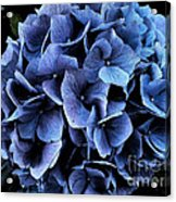 Midnight Hydrangea Acrylic Print