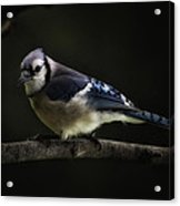 Midnight Light Blue Jay Acrylic Print