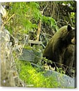 Midway - Backyard Bear Acrylic Print