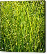 Midwest Prairie Grasses Acrylic Print