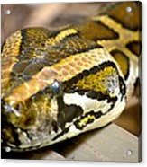 Mighty Python Acrylic Print