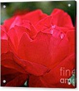 Mikado Tea Rose Acrylic Print