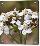 Milkweed Bug Macro Acrylic Print