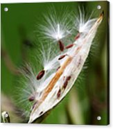 Milkweed Whisper Acrylic Print