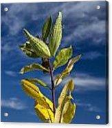 Milkweed Pods Against A Blue Sky Background Acrylic Print