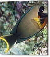 Mimic Surgeonfish Acrylic Print by Matthew Oldfield