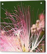Mimosa And Worm Acrylic Print