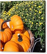 Mini Pumpkins Acrylic Print by Kimberly Perry