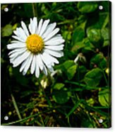 Miniature Daisy In The Grass Acrylic Print
