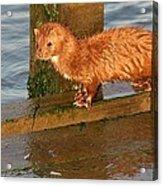 Mink Catching Fish Acrylic Print
