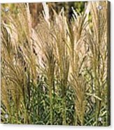 Miscanthus Sinensis 'gearmella' Acrylic Print