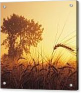 Mist In A Barley Field At Sunset Acrylic Print