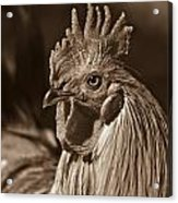 Mister Rooster From The Barnyard Acrylic Print