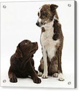 Mixed Breed And Chocolate Lab Acrylic Print