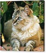 Mixed Breed Cat--mia Acrylic Print