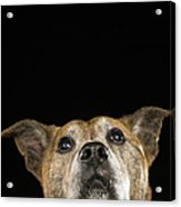 Mixed Breed Dog Looking Up Acrylic Print by Ryan McVay
