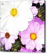 Mixed Pink And White Cosmos Acrylic Print