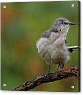Mocking Bird Perched In The Wind Acrylic Print