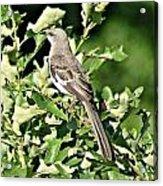 Mockingbird I Acrylic Print